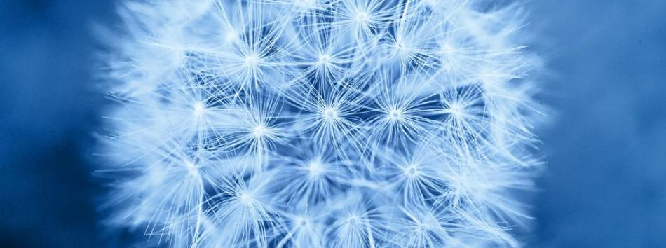 1385475523_0_access_blue_dandelion_high_res[1]_full-1a935541d0038f821de1630bcd349ff2.jpeg